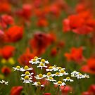 Poppies and Daises by Chris Tait