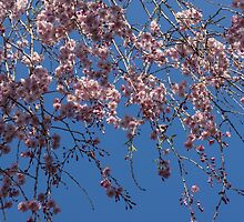 Pretty in Pink - a Flowering Cherry Tree and Blue Spring Sky by Georgia Mizuleva
