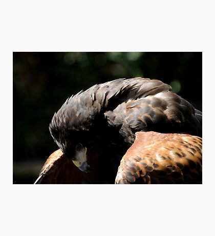 Harris Hawk Photographic Print