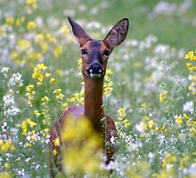 Deer hiding out in a rapeseed field by cornishgirlie
