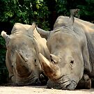 Southern White Rhinoceros With Friend by Landscapes Mainly .