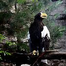 Sea Eagle by Landscapes Mainly .