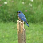 Mr. Blue Bird by Leslie  Lippert