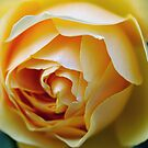 Yellow Rose in Peebles Garden by rosie320d