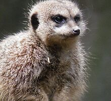 meerkat by Annie Underwood