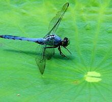 On a Lily Pad by noffi