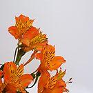 Astromelias naranjas by shortarcasart