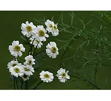 SNEEZEWORT (Angel's Breath)? Photographic Print
