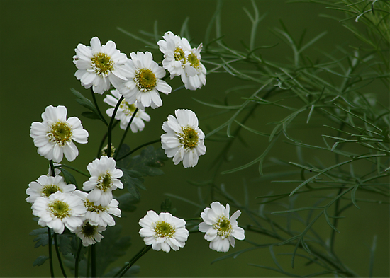 SNEEZEWORT (Angel's Breath)? by Lori Deiter