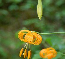 Columbian Lily, Lilium Columbianum by kameramuse