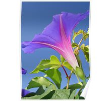 Close Up Of Ipomoea with Leaf and Sky Background Poster