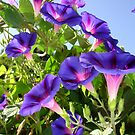 Deep Purple Morning Glory Climbing Plant by taiche