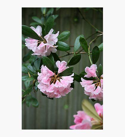 Little Pink Bells Photographic Print