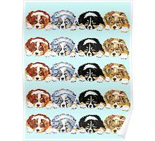 Australian Shepherd Puppies all 4 colors Poster