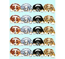 Australian Shepherd Puppies all 4 colors Photographic Print
