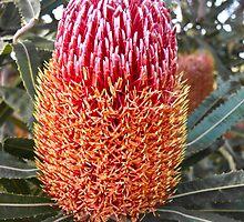 Banksia menziesii by Karen Stackpole