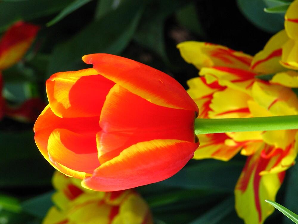 Tulips by glennlcasey