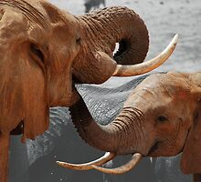 Tusker of love by hybaby