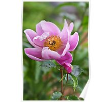 Grace Of A Peony Poster