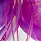 Fuchsia by photojeanic