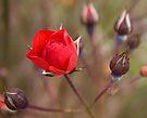 Red Rose Bud by Deborah McGrath
