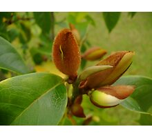 Magnolia Buds Photographic Print