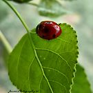 A Collection Of LadyBirds by Carla Jensen