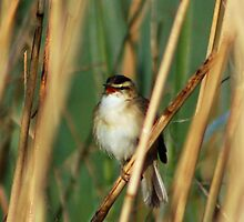 Sedge warbler singing by woolleyfir