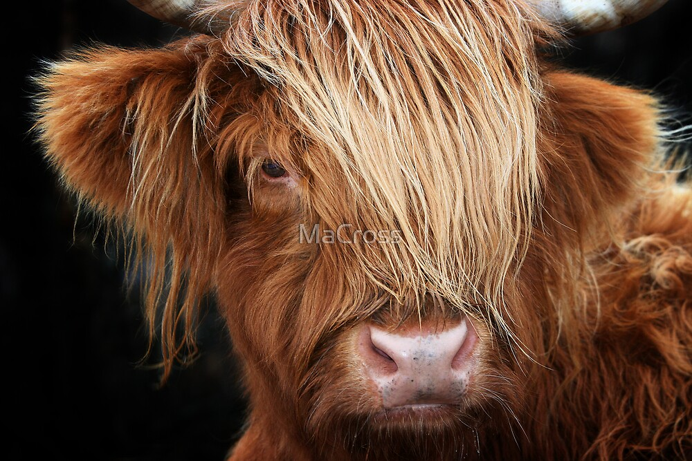 Highland Cow, Highland Cattle by Martina Cross