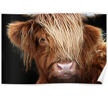 Highland Cow, Highland Cattle Poster