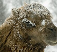Camel in the snow by woolleyfir