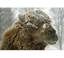 Camel in the snow Photographic Print
