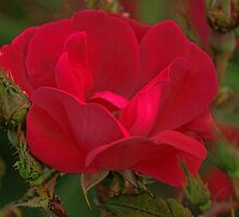 Red Rose by Rick  Friedle