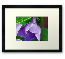 Blooming Morning Glory Framed Print