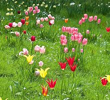 Tulips by John (Mike)  Dobson