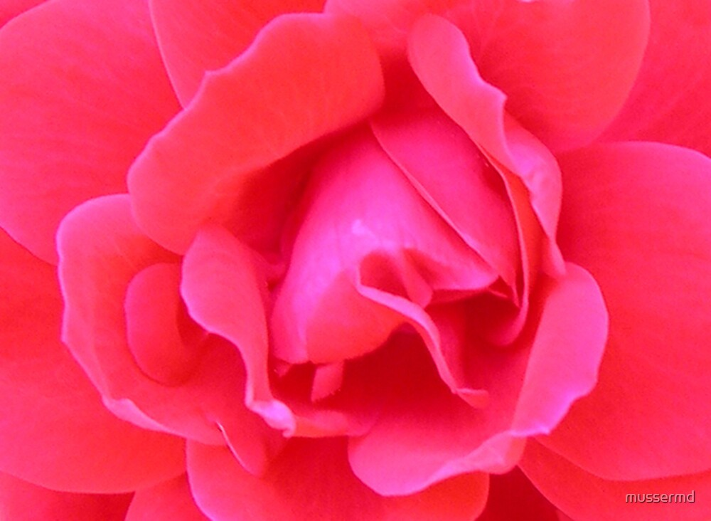 Red rose pedals by mussermd