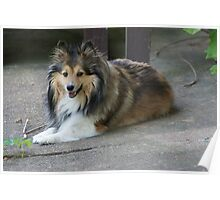 Miss Sheltie Poster