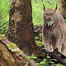 The Lynx by Brian Carey