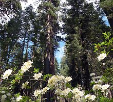 Mariposa Grove in Summer by Shaina Lunde