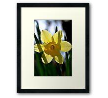 Daffodil Transparent Framed Print