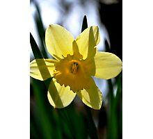 Daffodil Transparent Photographic Print