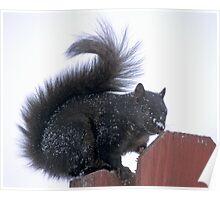 Snowy Black Squirrel  Poster
