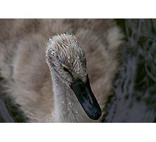baby swan Photographic Print