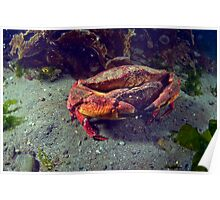Mating Red Rock Crabs Poster