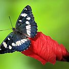 Limenitis reducta by jimmy hoffman