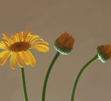 Golden Marguerite by mklue
