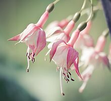 Fuchsia by Chrisseee