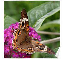 'Buckeye Butterfly on Buddlea' Poster