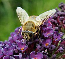 'Bee Fly on Buddlea' by Scott Bricker