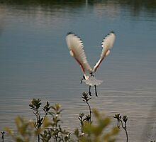 Ibis in Flight by Kathy Silcock